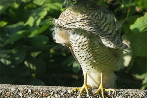 Sparrowhawk in the wind